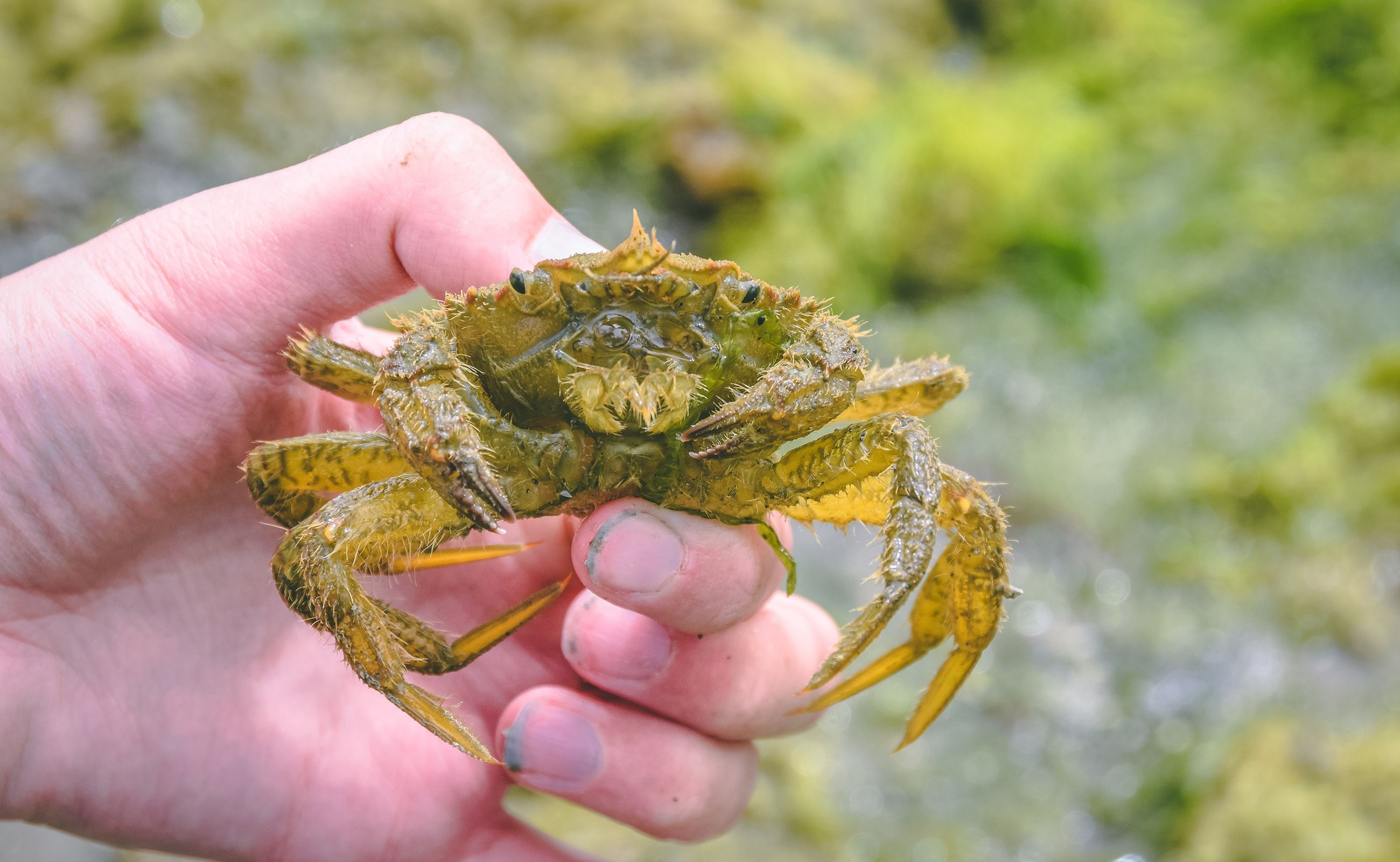 A helmet crab at Penrose Point State Park