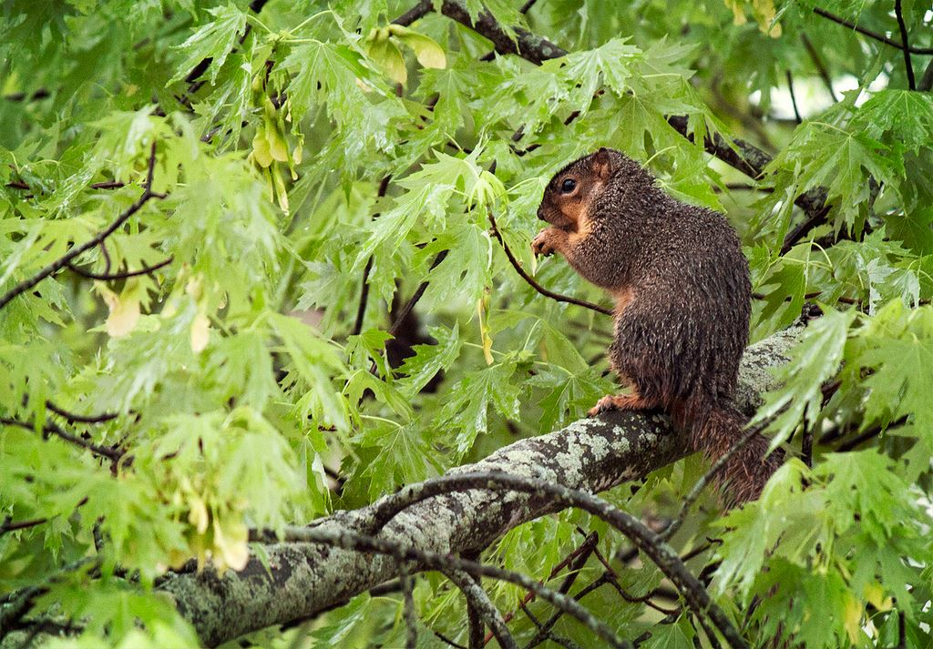 Rainy Day FKR Wet Squirrel Barbara Krawcowicz