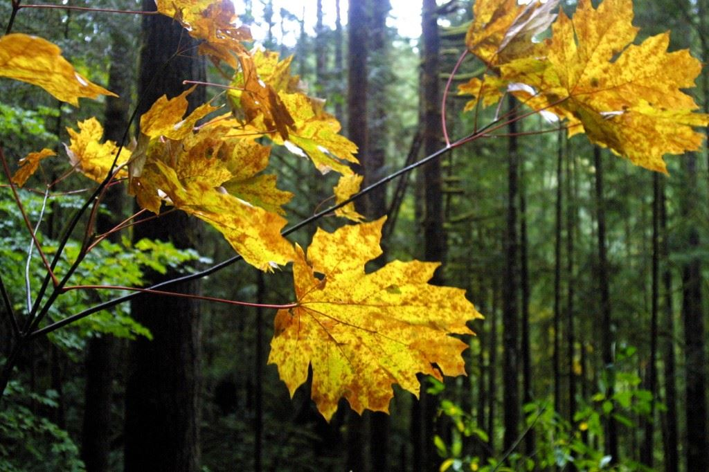 Wallace-Falls-maple-leaves