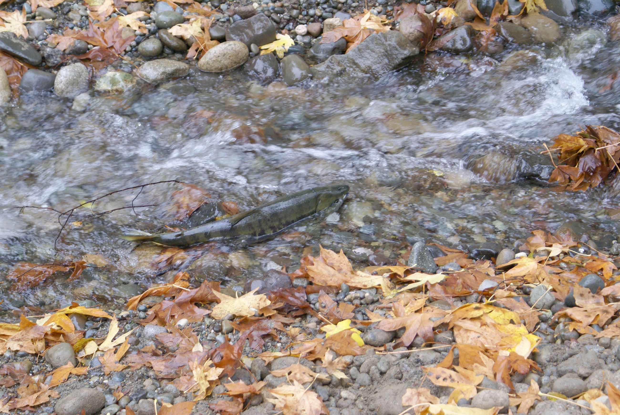 Salmon in belfair fall creek (002)