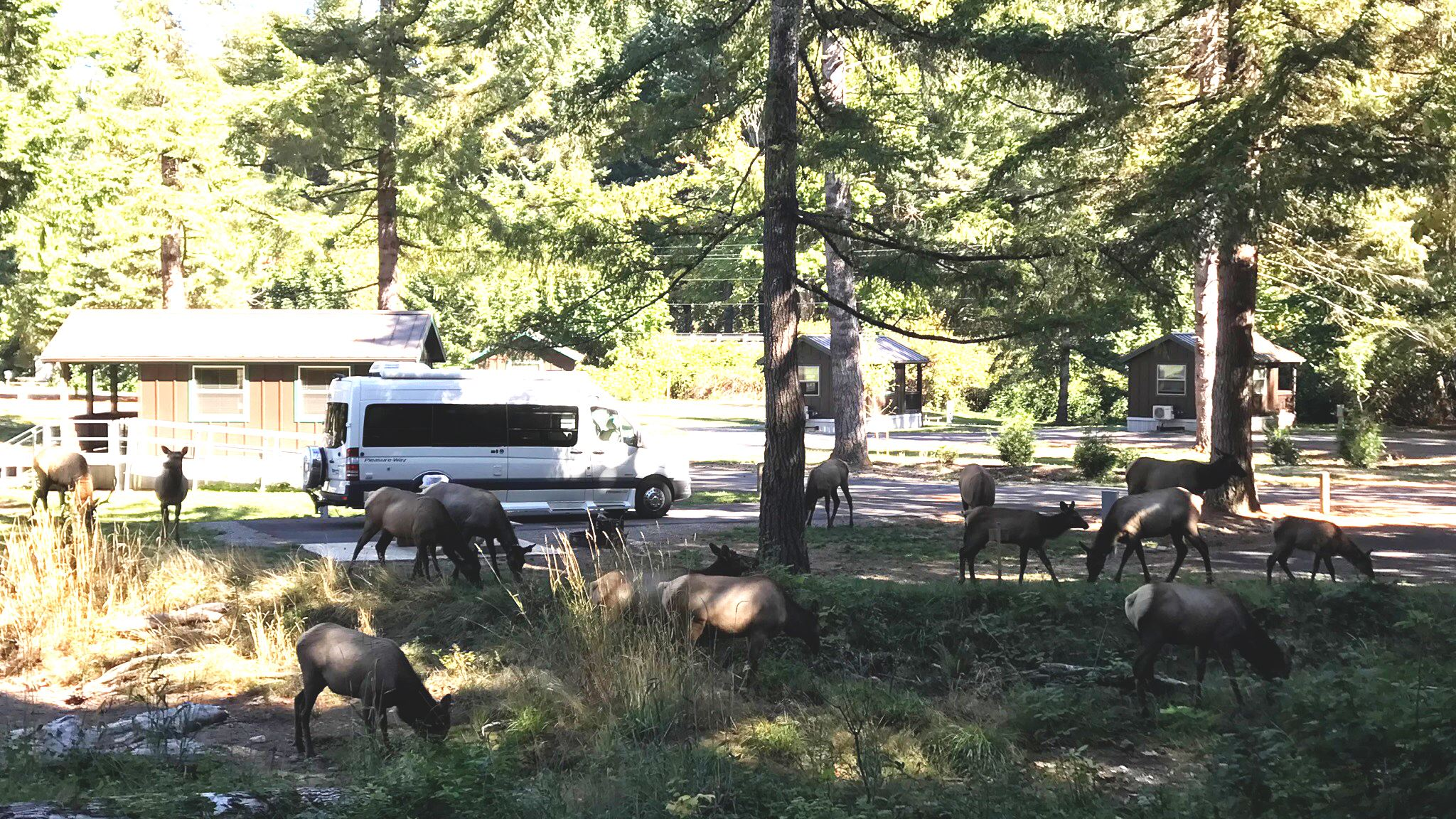 Elk in camground Sept 2017