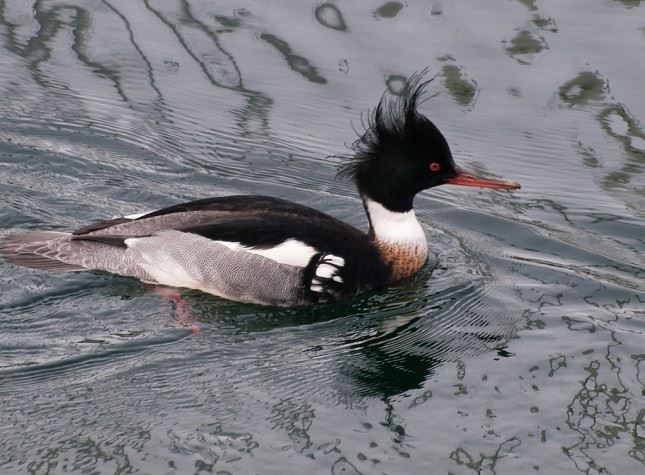 mergansers prefer fishing in the salt water and diving in the marshes off Potlatch State Park.